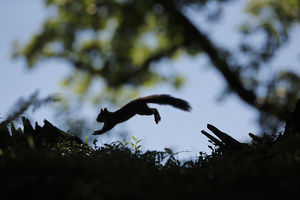scotland big picture/silhouetted red squirrel sciurus vulgaris jumping