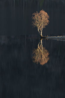 latest highlights/highlights 2011/silver birch betula verrucosa reflected loch
