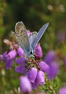 2020vision/1/silver studded blue butterfly plebeius argus