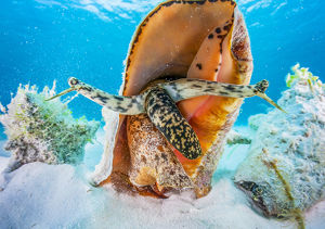 july 2019 highlights/small aggreggation queen conch lobatus gigas