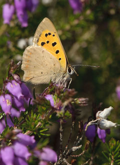 2020vision/1/small copper butterfly lycaena phlaeas bell heather