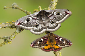 latest highlights/highlights 2013/small emperor moth saturnia pavonia male bottom