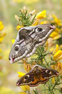 latest highlights/highlights 2013/small emperor moth saturnia pavonia male female