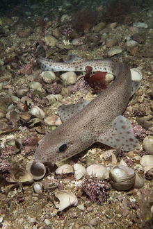 marine life channel islands sue daly/smallspotted catshark scyliorhinus canicula