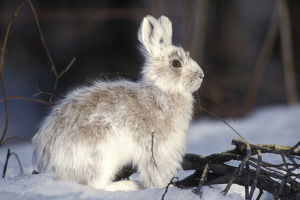 forests world/snowshoe hare lepus americanus adult coat changing