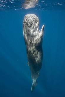 whales/sperm whale physeter macrocephalus resting vertically