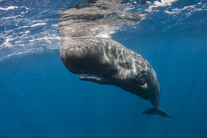 whales/sperm whale physeter macrocephalus resting just