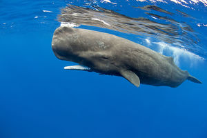 whales/sperm whale physeter macrocephalus surface dominica