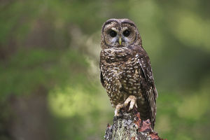north american birds/spotted owl strix occidentalis willamette national
