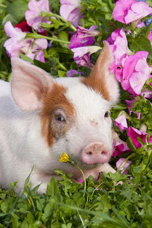 pigs/spotted piglet head portrait lying grass pink