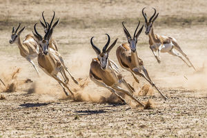 december 2018 highlights/springbok antidorcas marsupialis herd fleeing