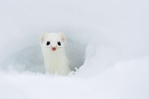 north american wildlife/stoat mustela erminea looking hole snow white