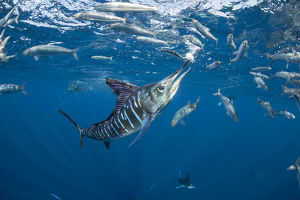 july 2019 highlights/striped marlin tetrapturus audax feeding sardine