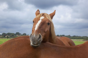 latest highlights/highlights 2011/suffolk punch heavy horse field resting head anothers