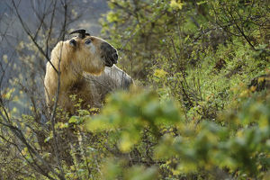 wild wonders china/takin budorcas taxicolor looking camera tangjiahe