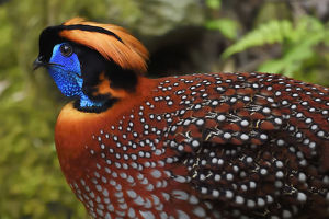 december 2018 highlights/temmincks tragopan tragopan temminckii male