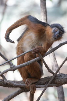 december 2018 highlights/temmincks western red colobus piliocolobus temminckii