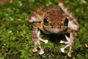 wild wonders china/tree frog amolops afghanus female sitting moss