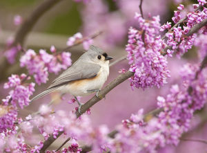 north american birds/tufted titmouse baeolophus bicolor perched flowering