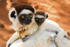 baby animals/verreauxs sifaka propithecus verreauxi female