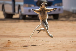 happy/verreauxs sifaka propithecus verreauxi running