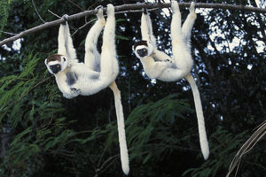 latest highlights/highlights 2009/verreauxs sifakas propithecus verreauxi hanging