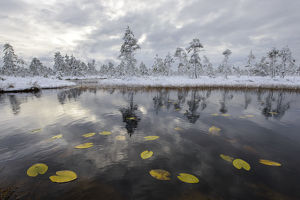 tranquility/water lily leaves bog pool snow covered pine
