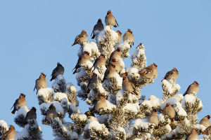 christmas/waxwing bombicilla garrulus flock snow covered