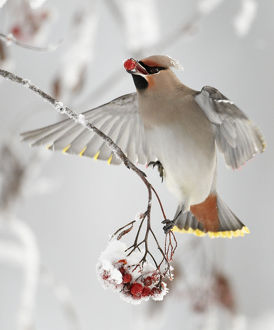 christmas/waxwings bombycilla garrulus feeding snow covered