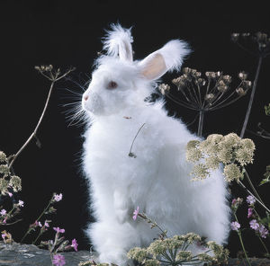 latest highlights/highlights 2009/white long haired angora rabbit plants