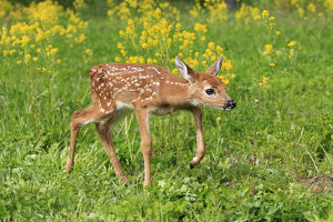 baby animals/white tailed deer odocoileus virginianus fawn