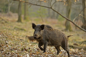 2020vision/1/wild boar sus scrofa female moving forest defensive