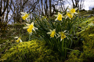 alex hyde/wild daffodil narciccus pseudonarcissus flowering