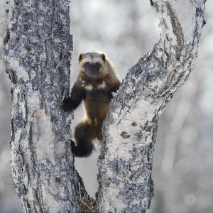 latest highlights/highlights 2011/wolverine gulo gulo climbing birch tree kamchatka