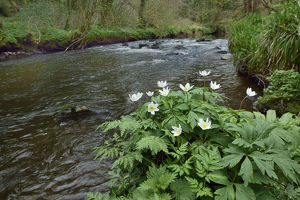 robert thompson/wood anemone anemone nemorosa river co armagh