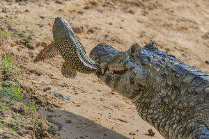 december 2018 highlights/yacare caiman caiman yacare feeding amazon sailfin