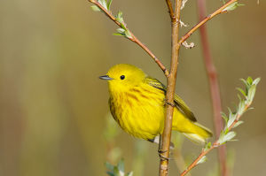 north american birds/yellow warbler dendroica petechia male seward