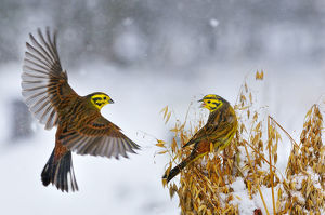 latest highlights/highlights 2011/yellowhammers emberiza citrinella coming land