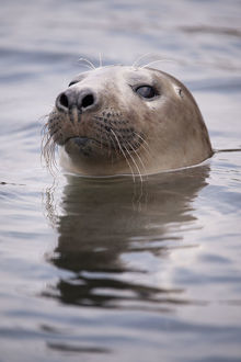 2020vision/1/young grey seal halichoerus grypus taking curious