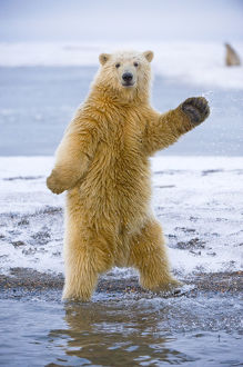 funny/young polar bear ursus maritimus standing trying