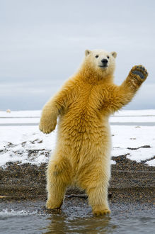 latest highlights/highlights 2013/young polar bear ursus maritimus standing trying