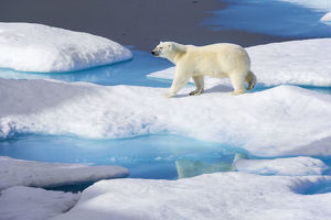 blue/young polar bear ursus maritimus walking melting