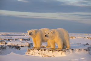north american wildlife/young polar bears ursus maritimus newly formed