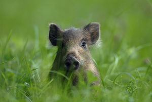 pigs/young wild boar sus scrofa sitting grass vosges